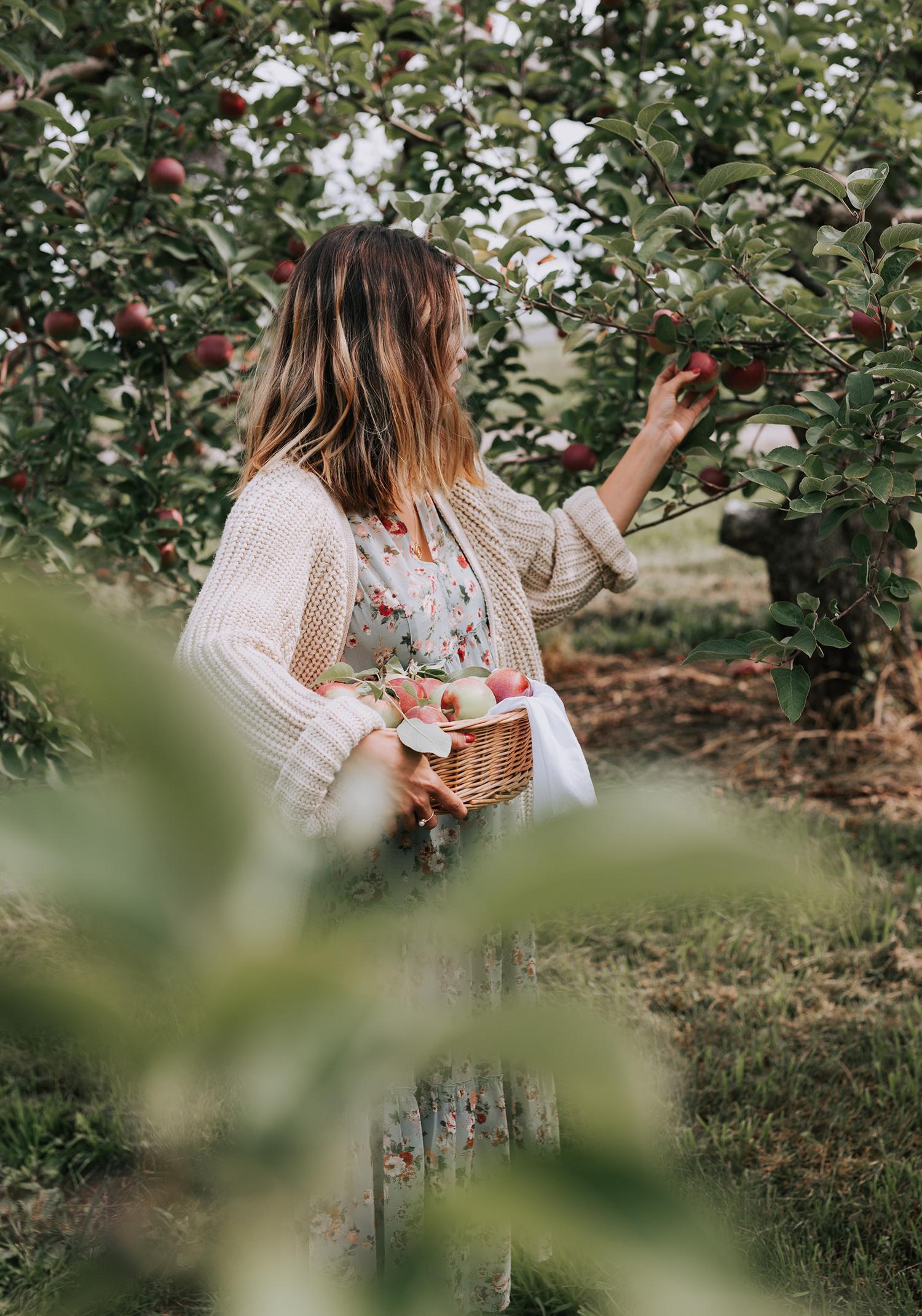 Dossier vedette- Au tour des pommes…